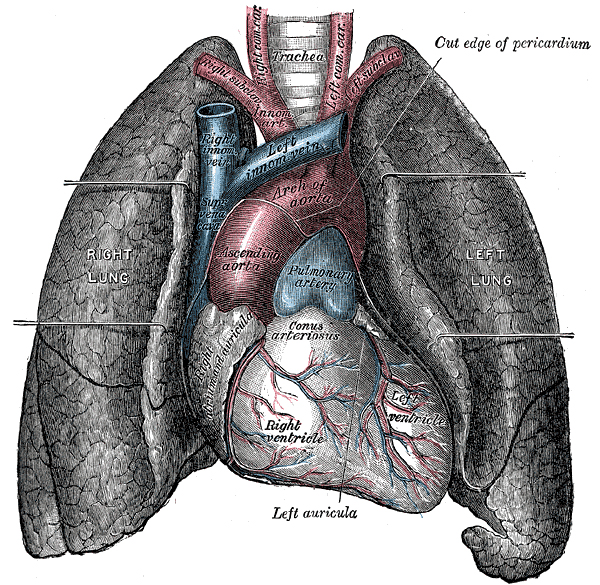 Heart and Lungs diagram Gray's anatomy