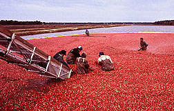 canberry harvest Photo by Keith Weller