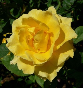 Photo of Rosa 'New Day' at the Springs Preserve garden in Las Vegas, Nevada, taken May 2005 by User:Stan Shebs
