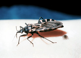 Bolivia: Health officials say one million are infected ... Biggest Insect In The World
