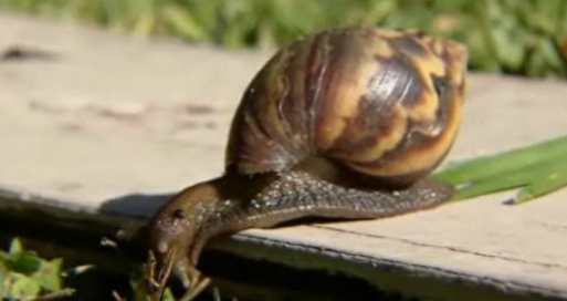 Giant African Land Snail  Image/Video Screen Shot