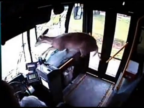 deer windshileld bus video
