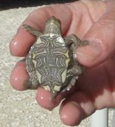 Small turtle Image/CDC