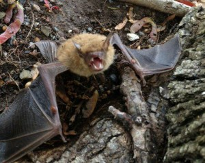 Displaced bat Image/Michael Korski, Get Bats Out