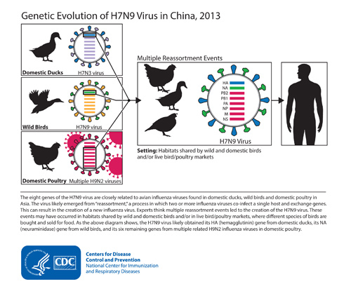 This diagram depicts the origins of the H7N9 virus from China and shows how the virus's genes came from other influenza viruses in birds. Image/CDC