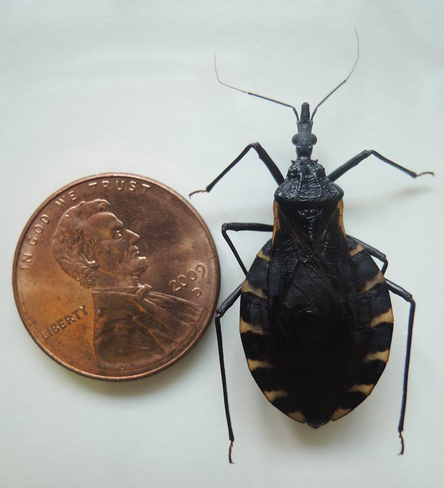 Kissing bug next to penny Image/Rachel Curtis-Hamer Labs