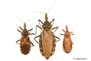 Three kissing bugs Image/Rachel Curtis--Hamer Labs