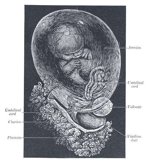 Human Fetus at 8 weeks photo Henry Gray