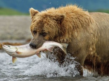 """The salmon don't make out very well in Disneynature's """"Bears""""  photo/Disneynature"""
