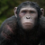 Blue Eyes in Dawn of the Planet of the Apes