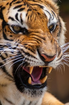 A tiger roaring showing off its powerful jaw and giant teeth. Will these be traits carried into the future?