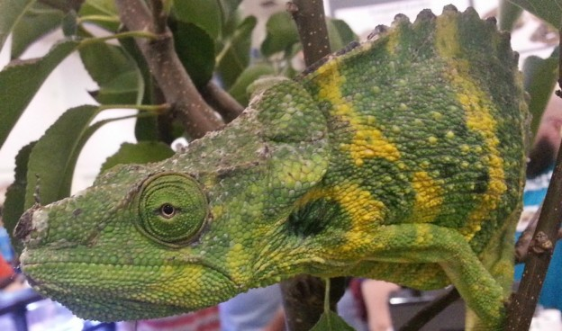 Chameleon up close at Repticon Tampa, Nov 2014 photo/Brandon Jones