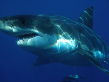 Great White Shark off Isla Guadalupe, Mexico  photo/ Sharkdiver.com