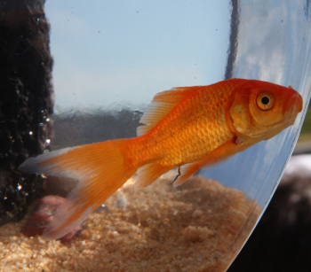 Goldie stars in the Fish Bowl II