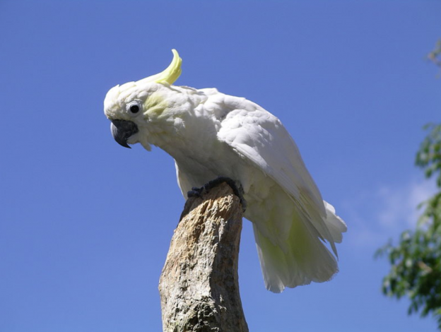 photo of Lesser Sulphur-crested Cockatoo by Snowmanradio via wikimedia