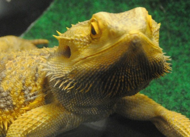 bearded dragon up close Repticon 2015