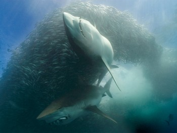 SOUTH AFRICA:  Underwater scene of two Great White sharks with sardines in their mouths circling a sardine bait ball.(Photo credit: © Aquavision TV Productions)