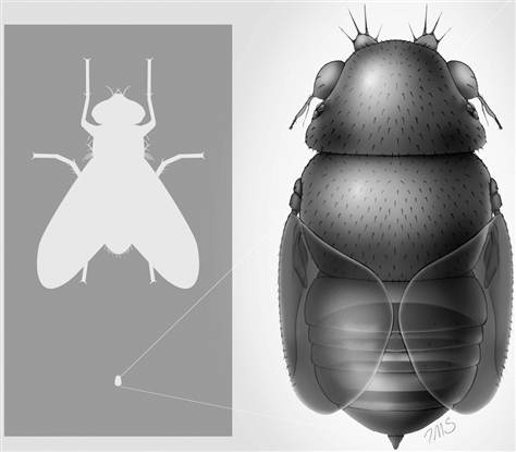 (Image: A reconstruction of the tiny phorid fly Euryplatea nanaknihali, with body size compared with a house fly (Musca domestica); Credit: Inna-Marie Strazhnik)