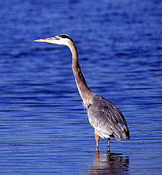 a grey heron Photo by Scott Bauer