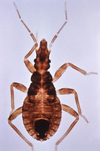 Triatoma infestans, kissing bug