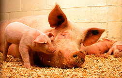 cute baby pig with mama pig Photo by Keith Weller
