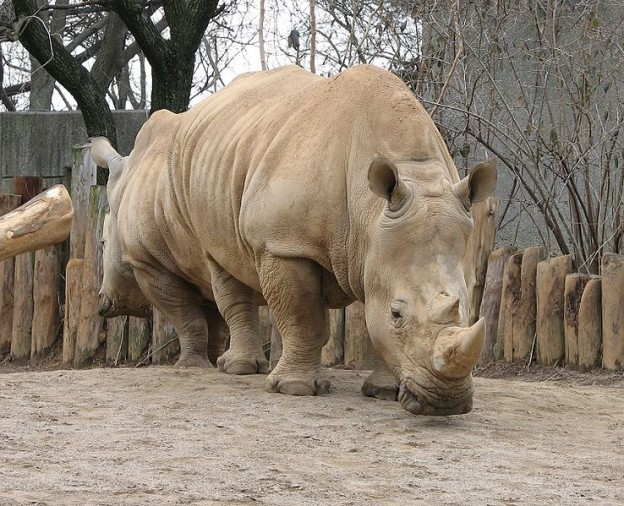 White Rhino, rhinocerous