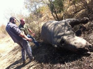 battleground-rhino-wars dead rhino found