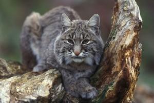 Bobcat sitting in tree Image/Kramer Gary, U.S. Fish and Wildlife Service