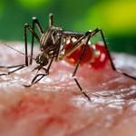 Female Aedes aegypti mosquito Image/James Gathany