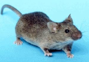 Mus musculus, common house mouse Image/NIH