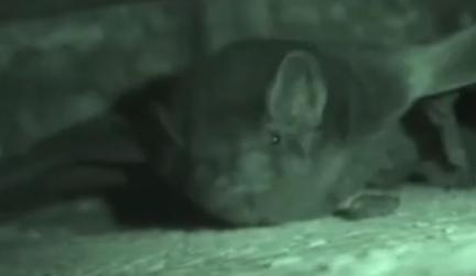 Micro-bat Image/Video Screen Shot