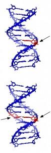 DNA photo Square87 via wikimedia commons