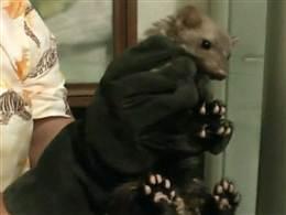 ferret caught in toilet