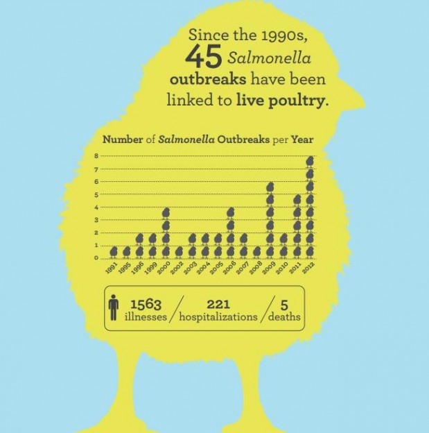 Salmonella outbreaks linked to live poultry Image/CDC