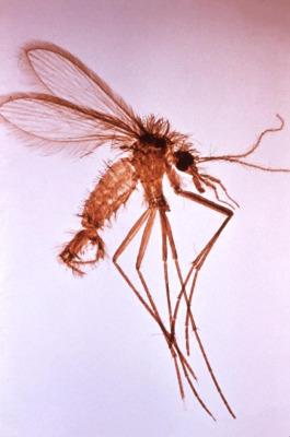 Phlebotomine sandfly Image/CDC