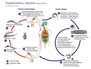 Chagas life cycle Image/CDC