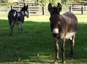 Miniature Donkeys Image/Video Screen Shot