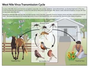 West Nile virus life cycle Image/CDC