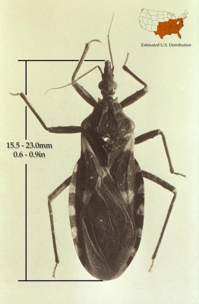 Triatoma sanguisuga Image/CDC