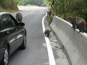 Formosan macaques Photo/Yiken via wikimedia commons
