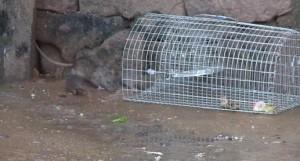 Capturing rats Image/Video Screen Shot