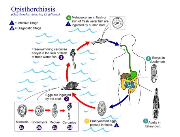 Opisthorchis Life Cycle Image/CDC