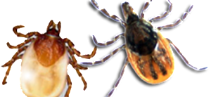 Ixodes cookei and Ixodes scapularis Image/CDC