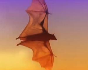 Flying fox Image/Video Screen Shot