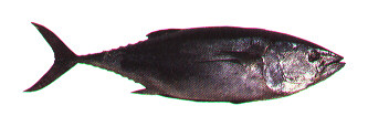 Bluefin tuna Image/California Department of Fish and Game