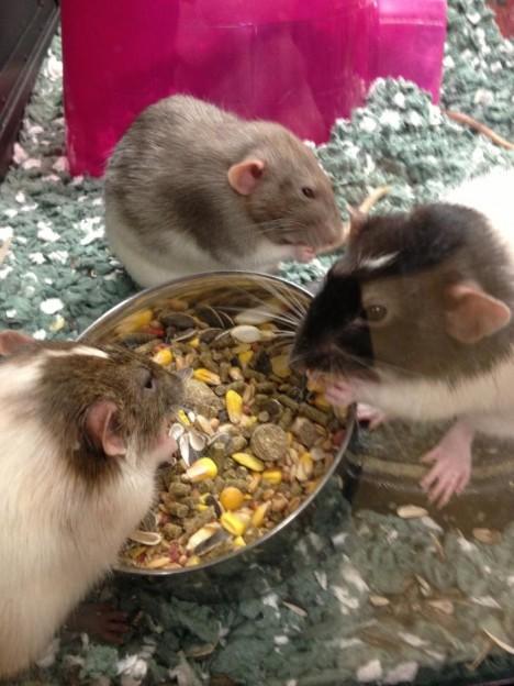 Rats/CDC