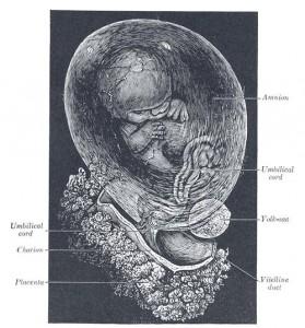 Human Fetus at 8 weeks photo Henry Gray