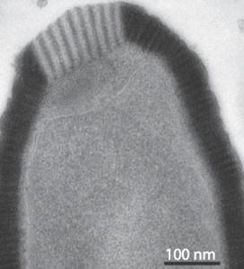 Pithovirus sibericum Image/Virology Blog