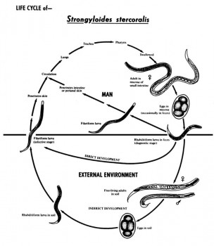 Strongyloides life cycle/CDC