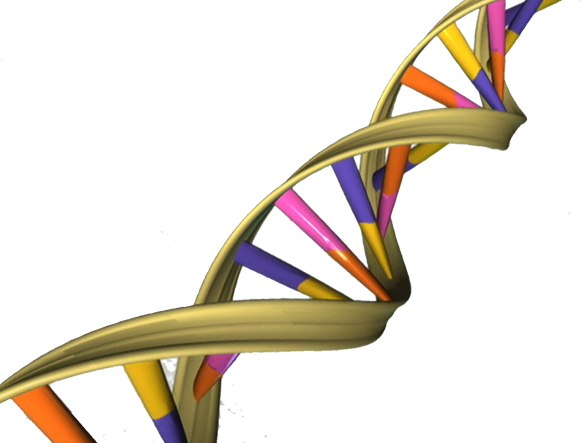 DNA double helix photo by This image was released by the National Human Genome Research Institute, an agency part of the National Institutes of Health